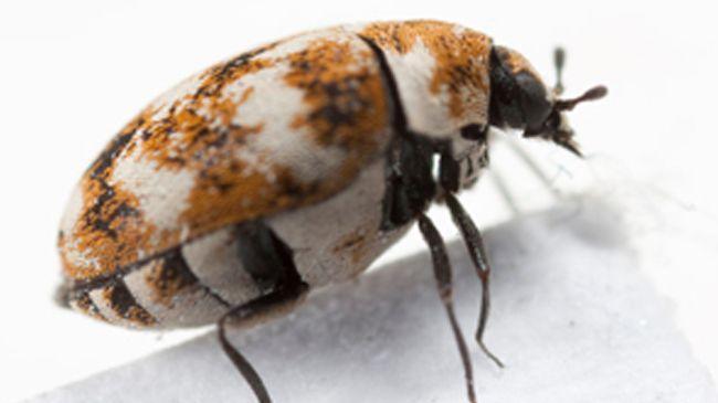 carpet-beetle-ft