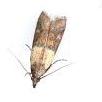 cloth-moth-drawing